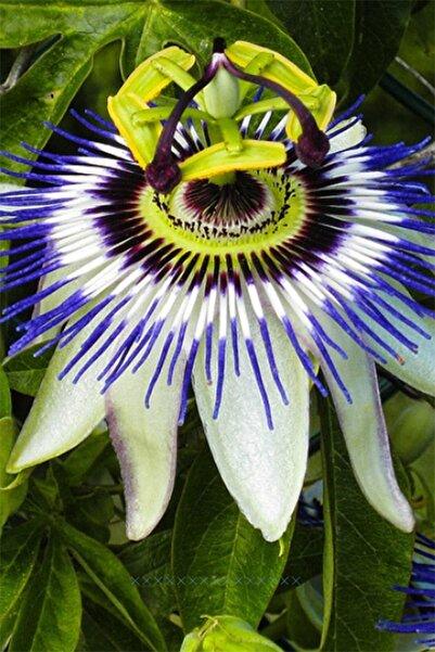 OXE GARDEN Pasiflora Çarkıfelek Çiçek Tohumu 5 Adet Doğal Tohum Saksı+torf Hediye Ev Bahçe Için Ideal