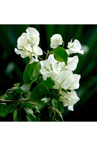 Fidanburada ?begonvil Sarmaşığı-beyaz (Bougainvillea)