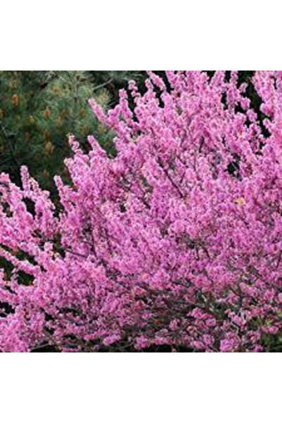AAC TARIM Kokulu Pembe Çiçekli Erguvan Ağacı Fidanı