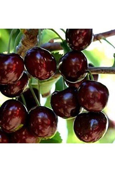 Aşılı Tüplü Iri Meyveli Bol Verimli 0900 Napolyon Kiraz Fidanı
