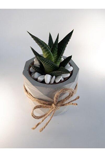 My Succulent Haworthia Limifolia Sukulent, Kaktüs, Succulent, Cactus 5,5 Cm'lik Saksıda Skulent