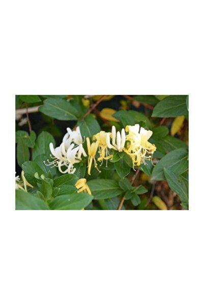 Fidanburada Hanımeli Çiçeği -kokulu-(Lonicera)