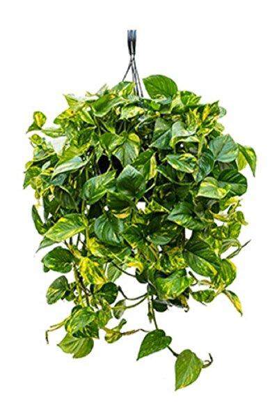 Berceste Peyzaj tasarım Pothos Sarmaşığı Askılı Saksıda Epipremnum Aureum Bitkisi Potos Ev Bitkisi Ofis Bitki Salon Bitkisi
