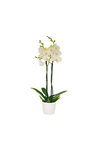 İthâl Bitki Çift Dal Beyaz Orkide Çiçeği