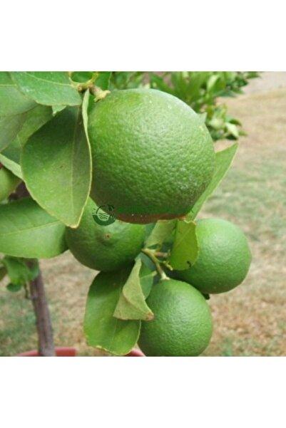 Berke Fidancılık Misket Limonu (lime) Tam Bodur (özel Aşı)