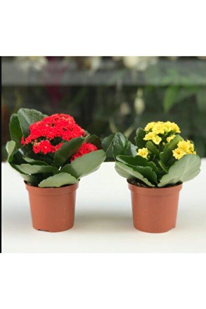 netten çiçek Kalanşo Çiçeği  Renkli Kalanşo Çiçeği 2 Adet