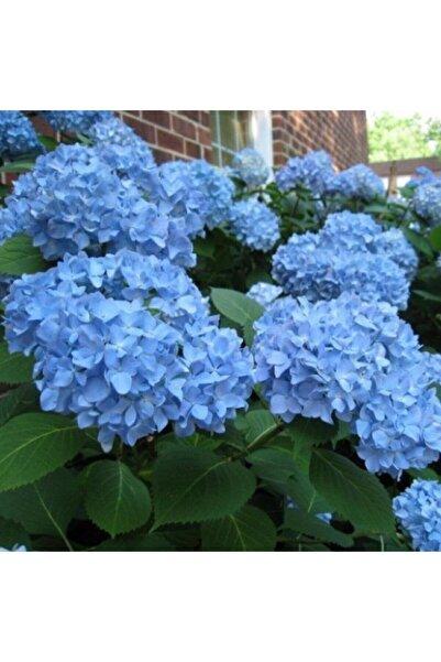 EvveBahce Tüplü Bol Yapraklı Mavi Çiçekli Ortanca Fidanı