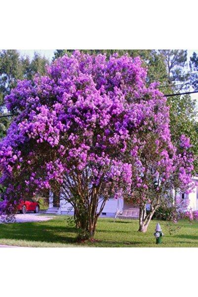 TacirDepo Tüplü Mor Çiçekli Oya Ağacı Fidanı