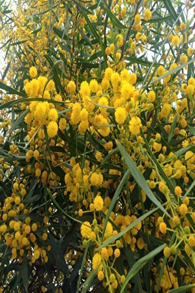 Bilgarden Tüplü Kokulu Mimoza Ağacı (Acacia Retinoides) Fidanı