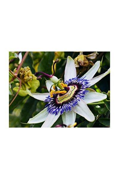 Çam Tohumculuk Passiflora Tohumu 3 Adet Tohum Pasiflora Saat Çiçeği
