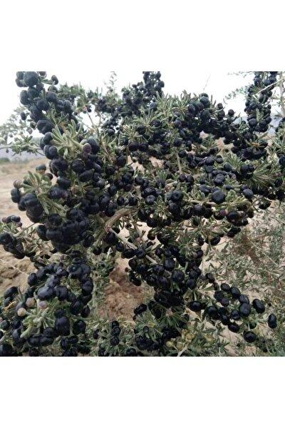 Baktar Tüplü Meyve Verme Yaşında Nadir Bulunan Siyah Goji Berry Fidanı (Sınırlı Sayı)