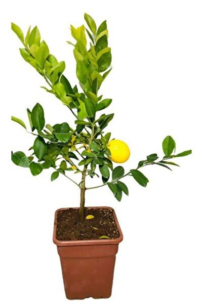 EVİM BAHÇEM Limon Fidanı Saksılı Bodur Limon Ağacı Fidanı 2-3 Yaş