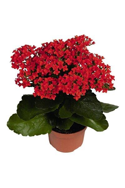 Armen Botanik Kalanchoe - Kalanşo Çiçeği (Kırmızı Çiçekli)