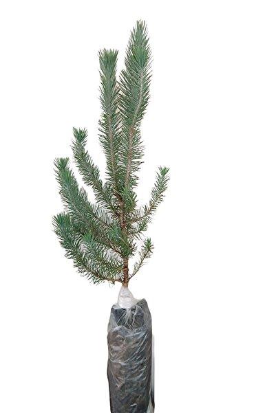 BİLEN ÇİÇEK TASARIM Fıstık Çamı Pinus Pinea Tüplü