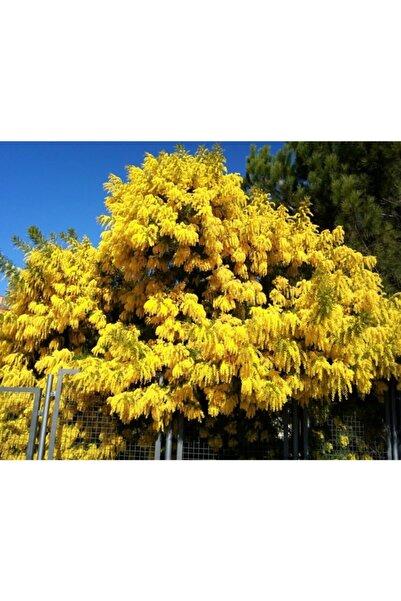 fidanistanbul Acacia Dealbata Mimosa Mimoza Ağacı 100 Cm, Saksıda