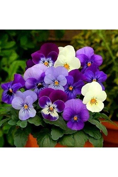 fidanistanbul Küçük Çiçekli Hercai Menekşe Çiçeği Karışık Renk Çiçek Tohumu +- 400 Adet