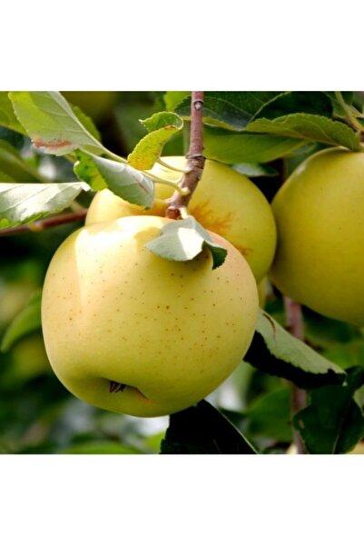 E-fidancim Tüplü Tam Bodur Golden Elma Fidanı