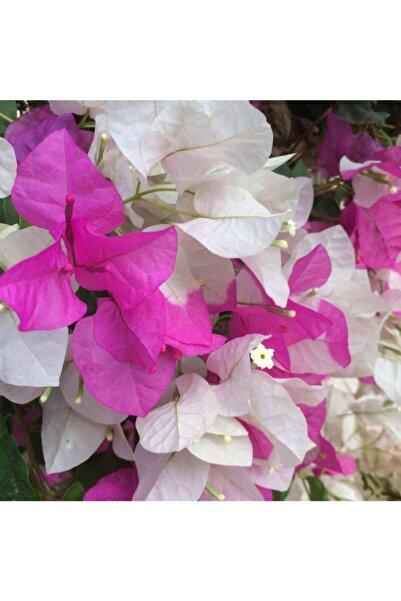 TURKİYE FİDAN Begonvil Çift Renk Beyaz - Pembe 50 - 70 Cm
