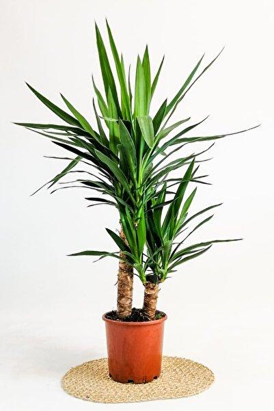 Fidanburada Yuka Bitkisi Yucca Massengena 2 Gövdeli 70-90 cm