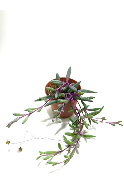 ünal kaktüs Othonna Capensis Rubra Sukulent