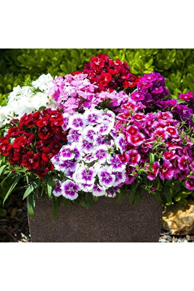 fidanistanbul Mini Karanfil Çin Karanfili Karışık Renk Çiçek Tohumu +- 450 Adet