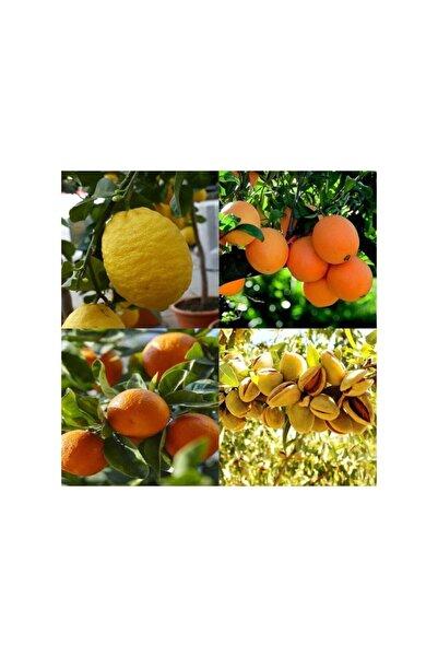 FİTAŞ FİDANCILIK Tüplü Aşılı Limon + Portakal + Mandalina + Badem Fidanı - 2 Yaş