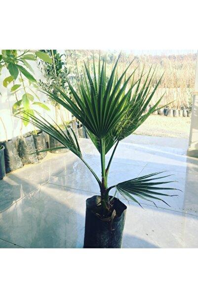 Fidan Sahası Tüplü Bodur Palmiye Fidanı 2 Yaş 60-80cm Boy