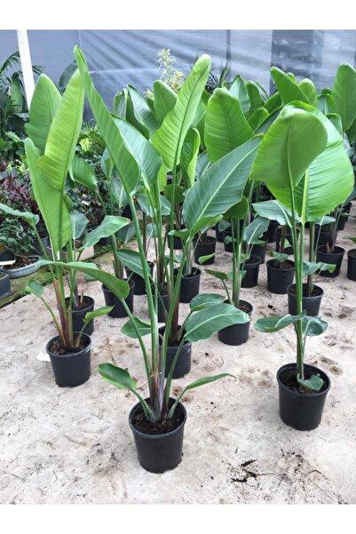 SalonBitkileri Starliçe - Beyaz Cennet Kuşu Çiçeği 140-150 Cm Boy