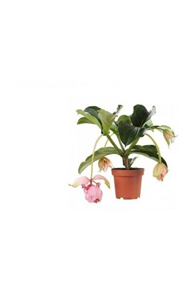 fidanistanbul Medinilla Medine Gülü, Malezya Orkidesi, Saksıda