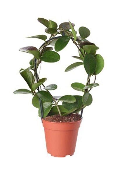 fidanistanbul Hoya Carnosa Mum Çiçeği