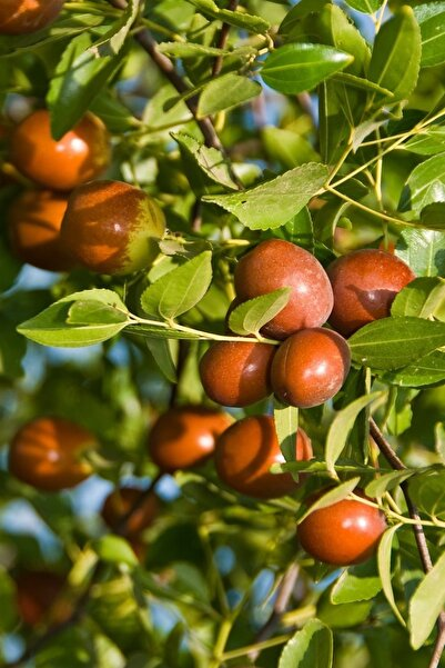 Yalova Fidan Market Küçük Meyveli Hünnap Fidanı