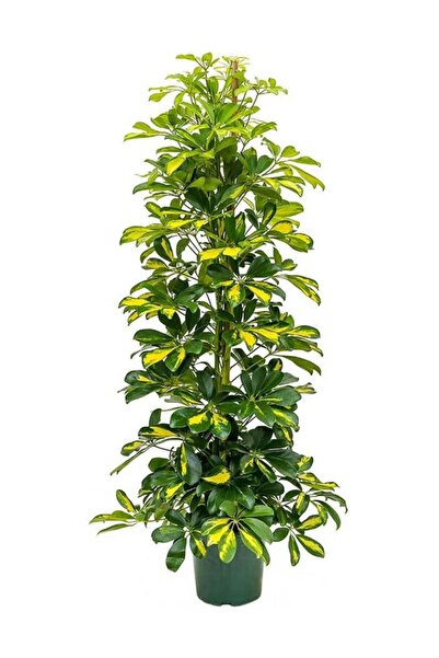 Berceste Peyzaj tasarım Şeflera Bitkisi 140 150 Cm Schefflera Bitkisi 5 Parmak Bitkisi Ev Bitkisi Ofis Bitkisi Salon Bitkisi