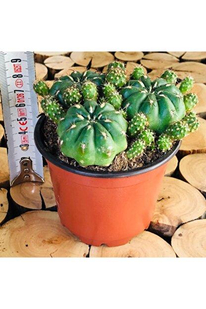 Özen Çiçekçilik Matucana Polzii Cactus Bol Yavrulu Turuncu Çiçek Açan Tür Kaktüs