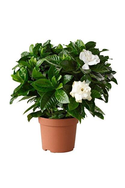 SalonBitkileri Gardenia Jasminoides Kokulu Gardenya Ev Ve Ofis Bitkisi 10.5 Cm Saksıda