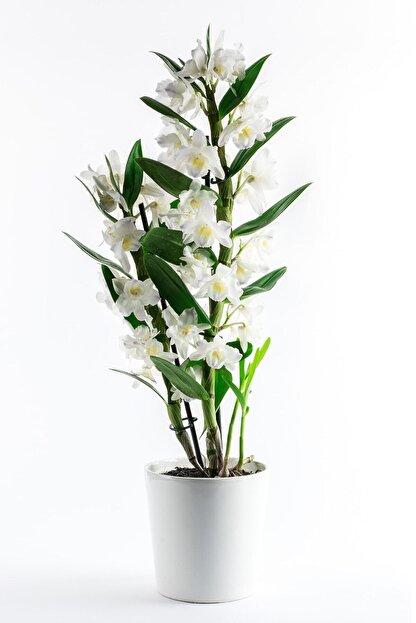 Bizim Bahçe Çiçekçilik Dendrobium Beyaz Renkli Orkide Çiçeği Canlı Çiçek 0001