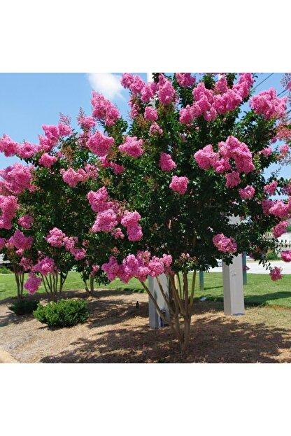 mutbirlik Tüplü Pembe Çiçekli Oya Ağacı Fidanı Lagertroemia Indica