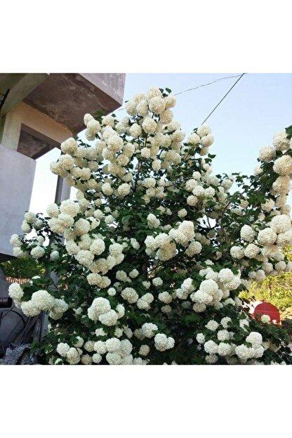 mutbirlik Tüplü Beyaz Çiçekli (kokuklu ) Kartopu Viburnum Fidanı
