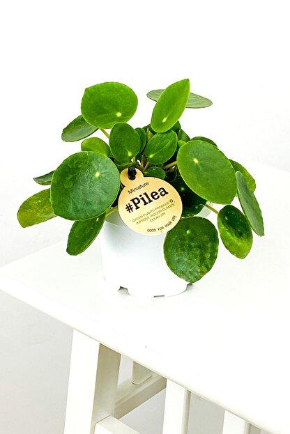 Fidanburada Baby Pilea Peperomioides - Mini Çin Para Bitkisi-ithal