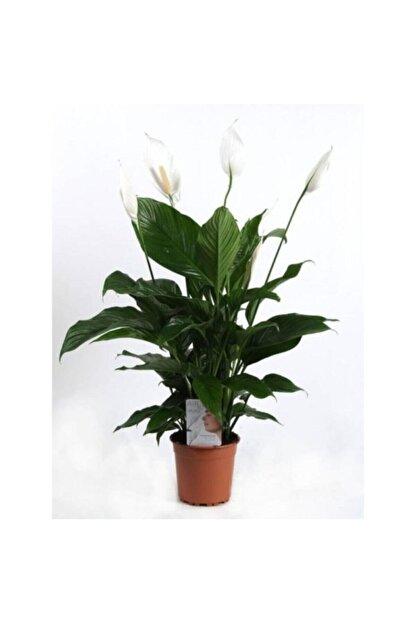 SalonBitkileri Barış Çiçeği Spathiphyllum Sokak Lambası Çiçeği Ev Bitkisi Ofis Bitkisi Salon Bitkisi