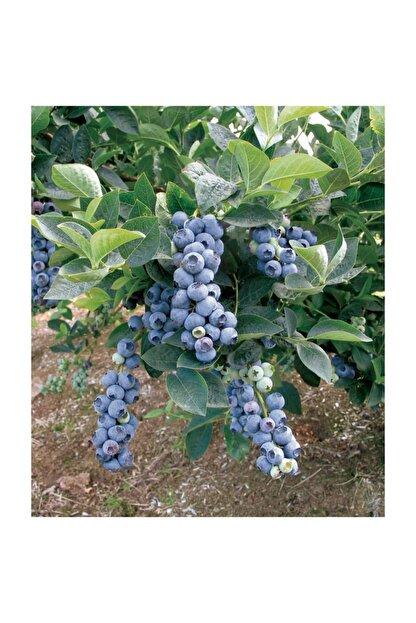 Fidanistanbul Blueberry Blue Gold Yaban Mersini, Saksıda