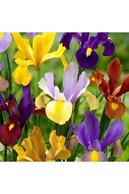 GüçlüTedarik Karışık Iris Soğanı -5 Adet Soğan