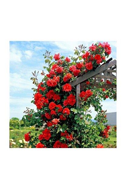 Çam Tohumculuk Ithal Nadir Kırmızı Sarmaşık Gül Tohumu 5 Adet Tohum Kırmızı Gül Tohumu