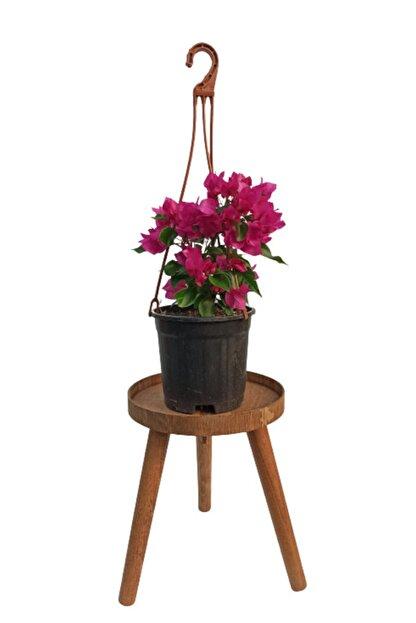 SERVET GARDEN Bodur Begonvil Çiçeği- 15-30cm