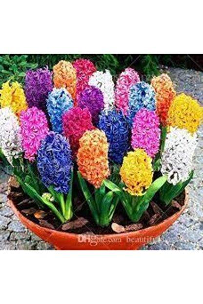 ata tohumculuk Tohum Karışık Renkli Sümbül Çiçeği Tohumu 10 Adet