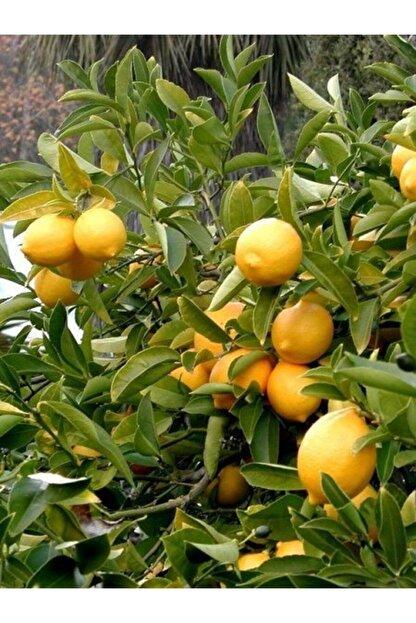 FidanMark Tüplü Yediveren Limon Fidanı +2 Yaş Aşılı Saksı Yetiştiriciliğine Uygun (90-150 Cm)