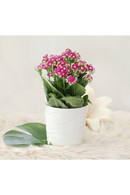 Gizemcan Çiçek Çilik Mor Kalanşo Kalanchoe