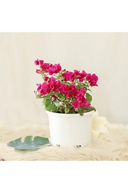 Gizemcan Çiçek Çilik Begonvil