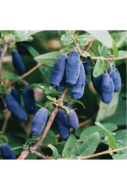 Ebruli Tüplü Fidan Honeyberry Bal Yemişi Meyve ve Fidanı