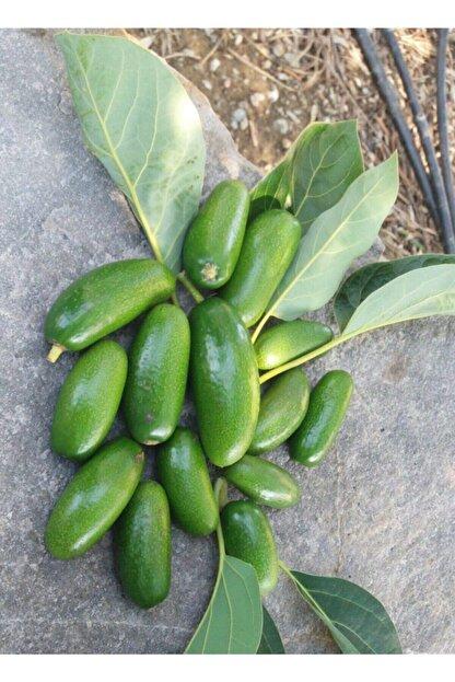 tropicaltat Bebek Avokado