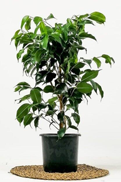 Fidanburada Ficus Benjamina Danielle-Benjamin Bitkisi 80cm